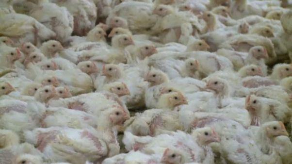 Γαλλία: Πολτοποίηση πουλερικών