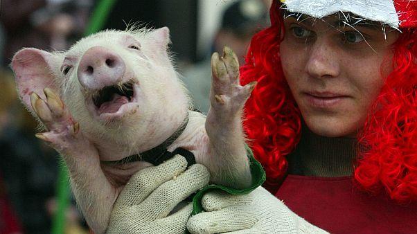 اَخته کردن توله خوک و معدوم کردن جوجه خروس در فرانسه ممنوع میشود