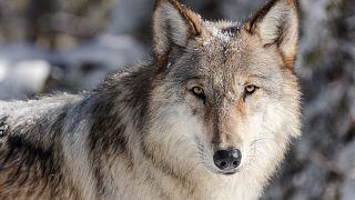 Wolf in Frankfurt überfahren