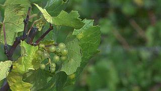 Aquecimento global ameaça vinhas