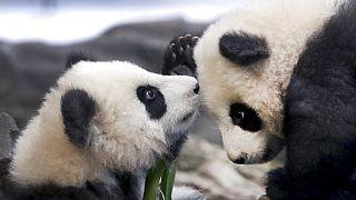 'Meng Yuan' and 'Meng Xiang'  Berlin Zoo in Berlin, Germany, Jan. 29, 2020.