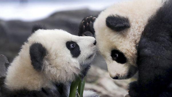 Панды-близнецы вышли в свет