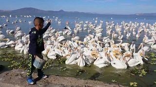 Un niño alimenta a los pelícanos en Petatán (México)