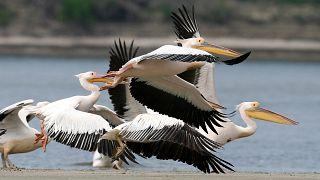 Белые пеликаны мигрируют в поисках тепла и рыбы