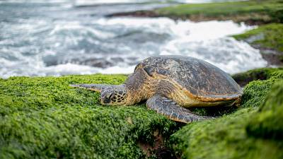 Blessed by Tibetan monks, this turtle had a very festive return to sea