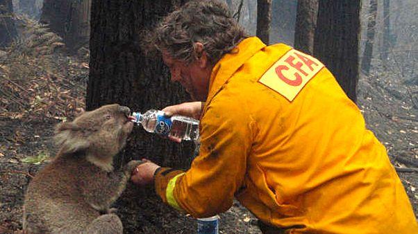 Avustralya'da fidanlığa giren dozer koalaları öldürdü; olayla ilgili soruşturma başlatıldı