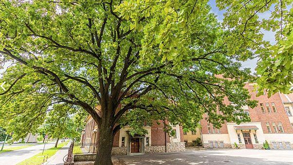 A kaposvári Szabadságfa