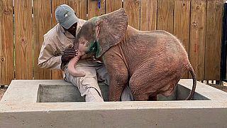 Albínó elefántborjút mentettek orvvardászok csapdájából