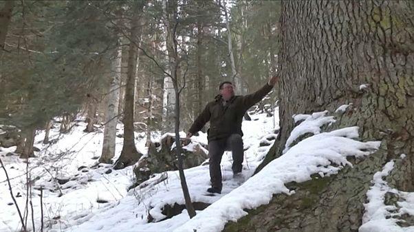 Rumänische Riesentanne will Baum des Jahres werden
