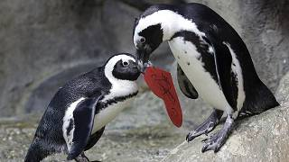 FILE PHOTO An African penguin carries a heart shaped valentine handed out by aquarium biologist Piper Dwight to its nest at the California Academy of Sciences in San Francisco