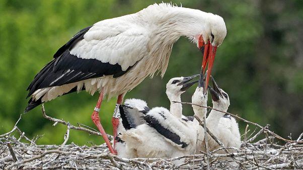 A gólyákat is érinti a klímaváltozás