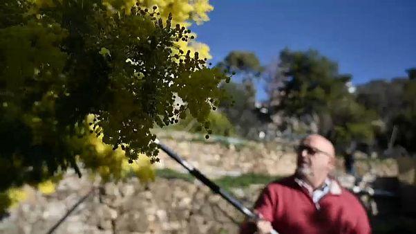 Clima: la mimosa ora sboccia a febbraio