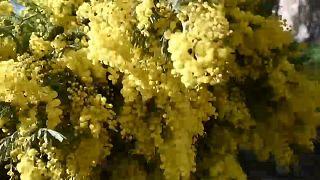 Klimawandel: Mimosen blühen viel zu früh