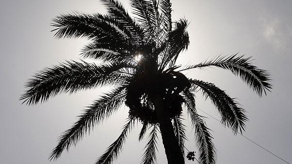 Bilim insanları 2 bin yıllık tohumdan türü yok olmuş hurma ağacı üretti