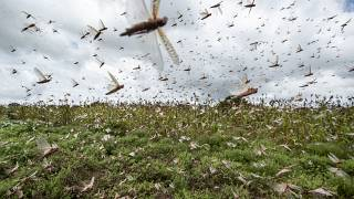 Farmers fight back - locust swarms harvested for animal feed
