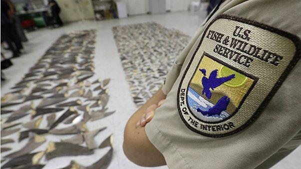 شاهد: إحباط محاولة تهريب 635 كيلوغراماً من زعانف سمك القرش في فلوريدا