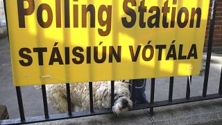 A dog waits for his owner as voting gets under way in the general election in Dublin, Ireland, Saturday, Feb. 8, 2020
