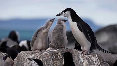 A Chinstrap Penguin colony on Penguin Island.