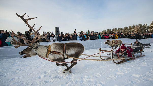 Tolldreistes Rentierrennen am Polarkreis