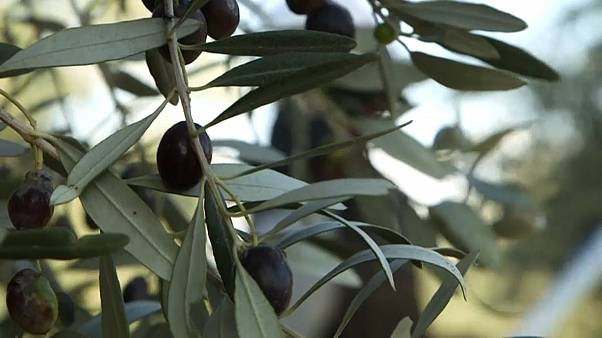 Colive Oil Cyprus olive groves