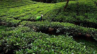 تحریمها ایران را به بزرگترین خریدار چای هند تبدیل کرده است