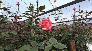 كولومبيا: أزهار عيد الحب قد تحمل الكوكايين بين بتلاتها