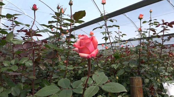 Cocaina nelle rose di San Valentino