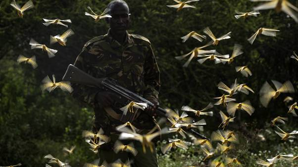 Ranger Gabriel Lesoipa is surrounded by desert locusts as he relays the coordinates of the swarm to a plane spraying pesticides, Nasuulu Conservancy, Kenya, Feb. 1, 2020,