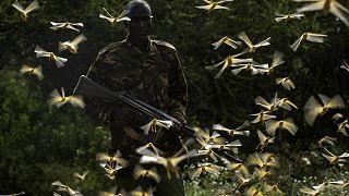 Çekirgeler, Kenya