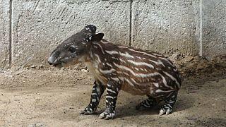 Valentina, la tapir que enamora
