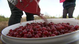 Lettland: Cranberries pflücken statt Skifahren