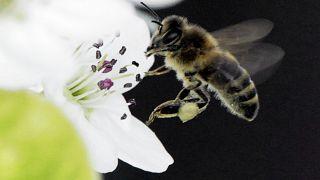 رمزگشایی دانشمندان از پرواز و رقص گروهی زنبورهای عسل