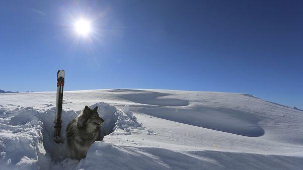 A Tignes, les entraînements sont intensifs pour les chiens d'avalanche