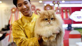 شاهد: أول مهرجان للقطط في فيتنام