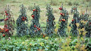 Archives : des tomates, le 31 août 2017 près de Lisle-sur-Tarn dans le sud-ouest de la France.