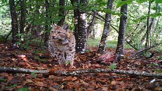 Loups, lynx et ours : l'enjeu de la préservation et de la coexistence avec les hommes