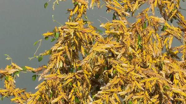 Desert locusts wreak havoc in Uganda in worst infestation in 70 years