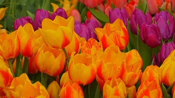 Moszkva: 10 ezer tulipánnal várják a tavaszt