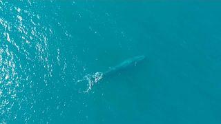 Espèces menacées : un espoir pour les baleines bleues?