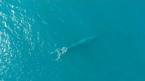 Rekordszámú kék bálnát észleltek