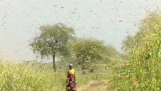 Uganda'daki çekirge istilasından Avrupa'yı vuran Dennis Kasırgası'na haftanın No Comment videoları