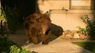 Медведь в Калифорнии и корова в Париже