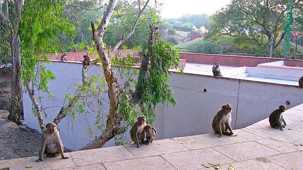 Hindistan, Trump'a yönelik olası maymun saldırılarına karşı önlemlerini artırdı
