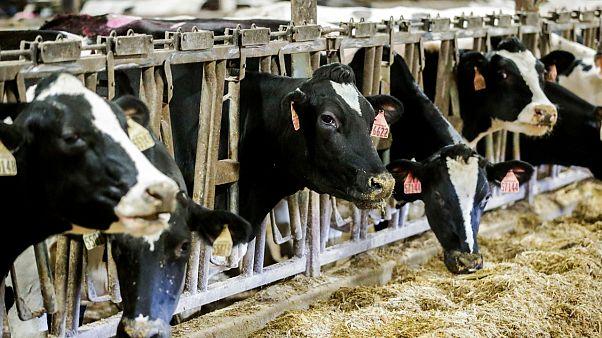 Fransa 2030'da enerji tüketiminin yüzde 30'unu hayvan gübresinden karşılayabilir