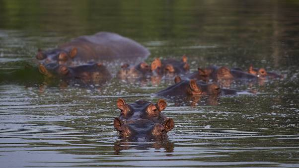 Invasion der Narco-Hippos