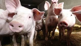 Find out why Poland's pig farmers are concerned about their livelihoods