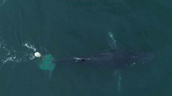 Baleia jubarte libertada de redes de pesca ilegal