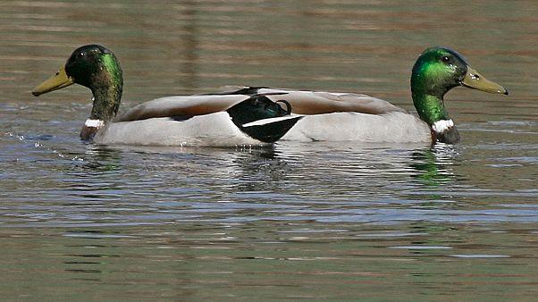 Békésen úszkáló kacsák (illusztráció)