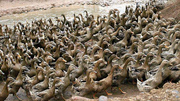 """الصين تستعين ب""""جيش البط"""" لمحاربة الجراد"""