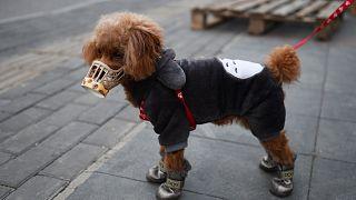 Covid-19'dan korunmak için maske takan köpek - ARŞİV